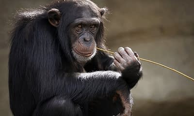 Artificial Intelligence Recognizes Primate Faces in the Wild